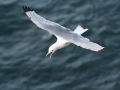 Black-legged-Kittiwake-in-flight_Chris-Barger