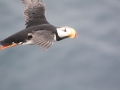 Horned-Puffin_Chris-Barger