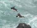 Thick-billed-murres-playing-in-the-wind_Chris-Barger