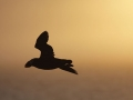 Tufted-Puffin-flying-into-the-sunset_Ram-Papish