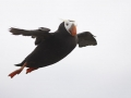 Tufted-puffin_Ram-Papish