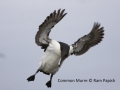 common-murre-in-flight_Ram-Papish_small