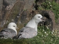 northern-fulmar_rainbirder