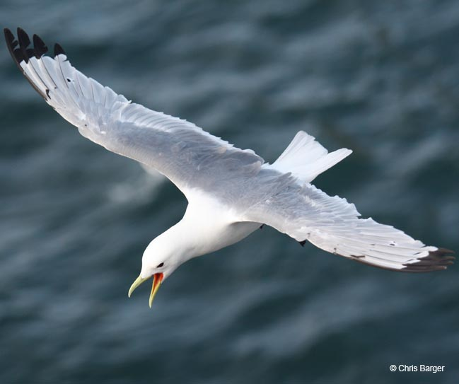 Kittiwake-in-flight