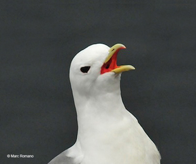 Red Leg Kittiwake1